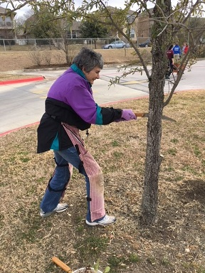 Commissioner Cook pruning a tree.