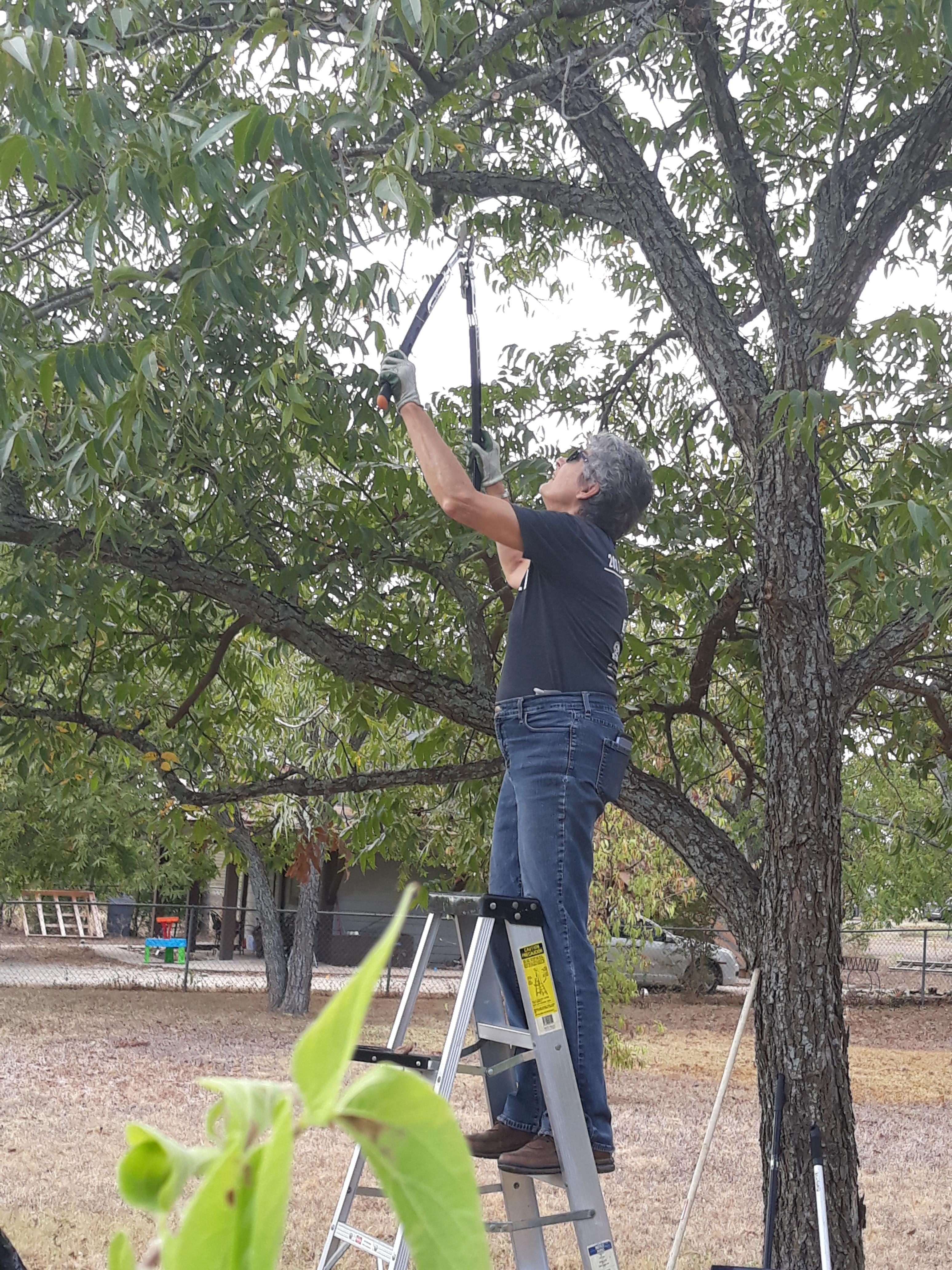 Commissioner Cook stands on a ladder to trim dead and loose tree limbs.